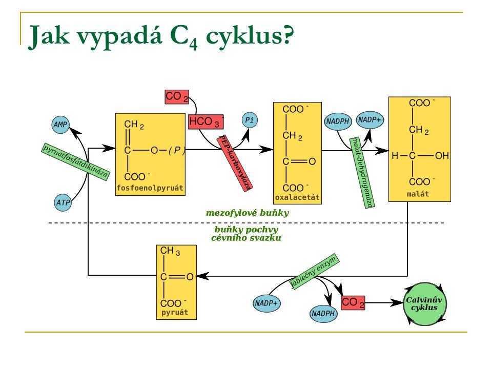 Jak vypadá C4 cyklus