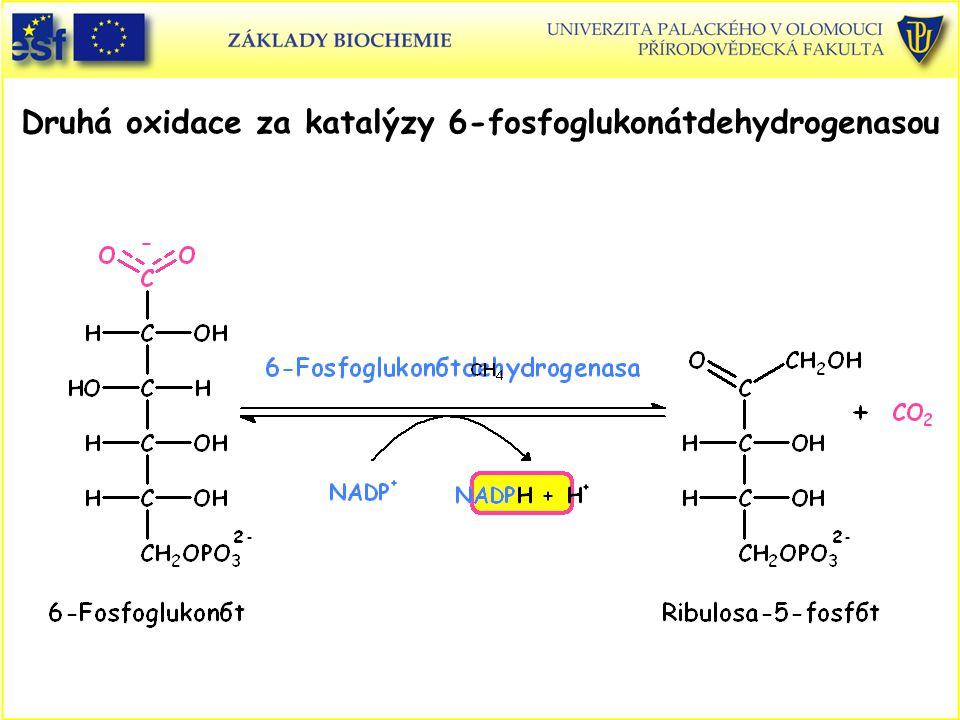 Druhá oxidace za katalýzy 6-fosfoglukonátdehydrogenasou