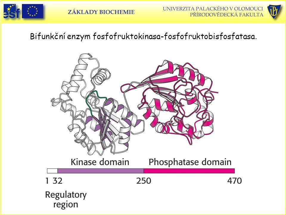 Bifunkční enzym fosfofruktokinasa-fosfofruktobisfosfatasa.