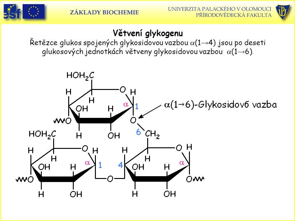 Větvení glykogenu Řetězce glukos spojených glykosidovou vazbou a(1→4) jsou po deseti glukosových jednotkách větveny glykosidovou vazbou a(1→6).