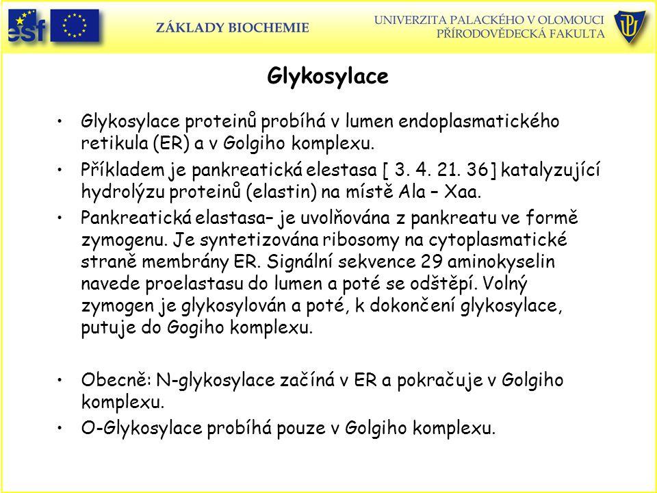 Glykosylace Glykosylace proteinů probíhá v lumen endoplasmatického retikula (ER) a v Golgiho komplexu.