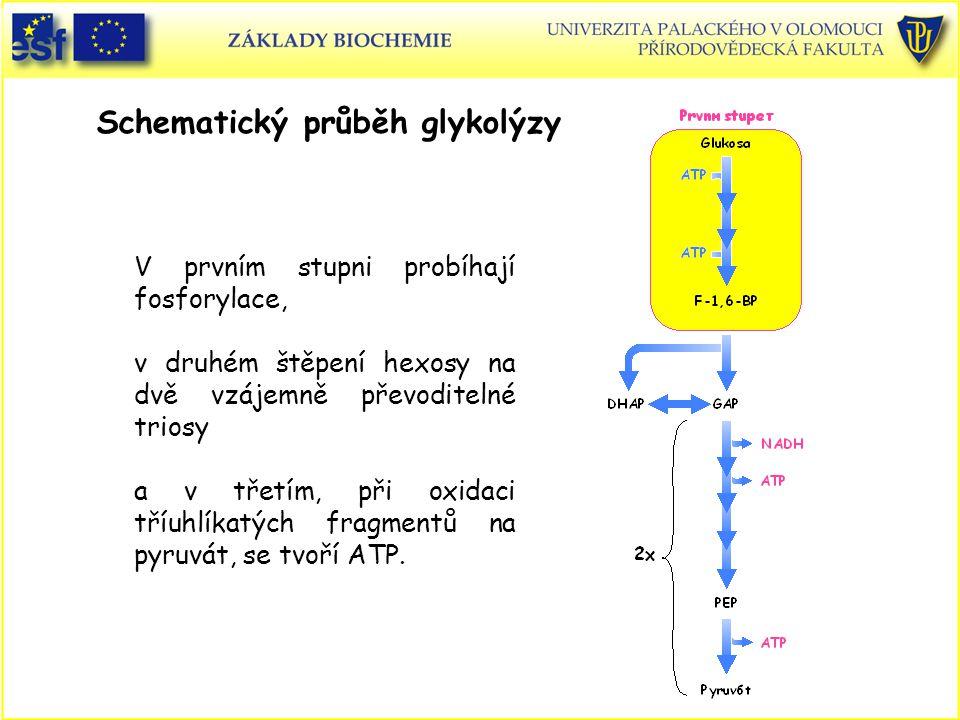 Schematický průběh glykolýzy