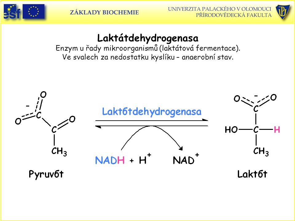 Laktátdehydrogenasa Enzym u řady mikroorganismů (laktátová fermentace)