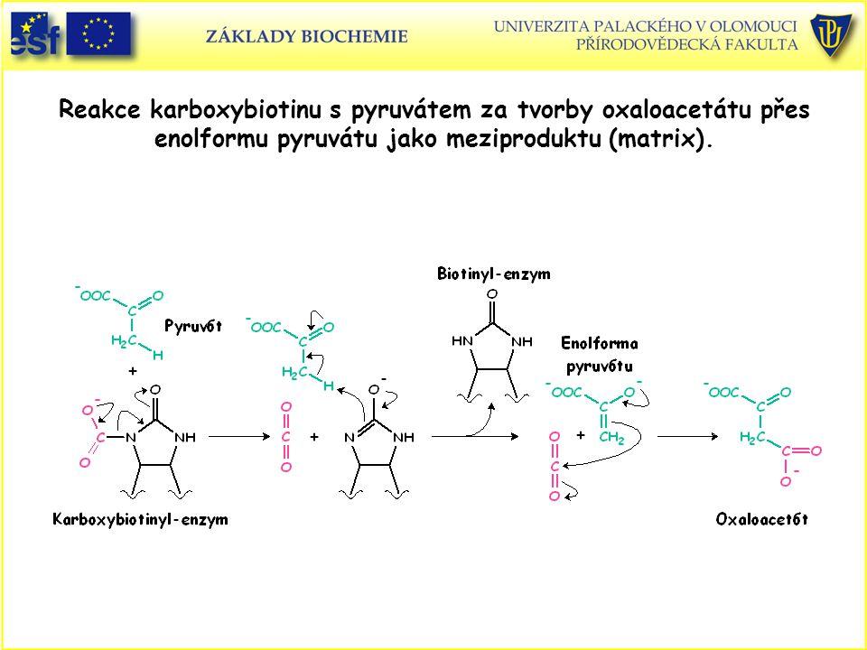 Reakce karboxybiotinu s pyruvátem za tvorby oxaloacetátu přes enolformu pyruvátu jako meziproduktu (matrix).
