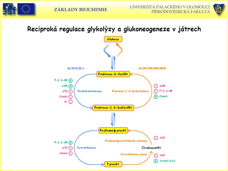 Reciproká regulace glykolýzy a glukoneogeneze v játrech