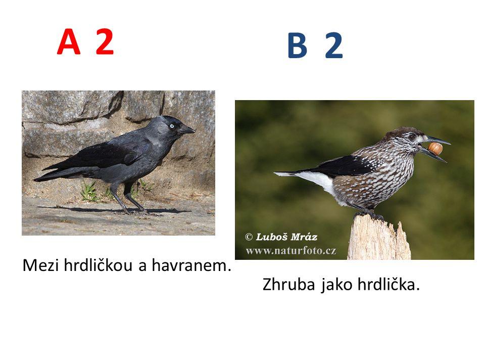 A B 2 Mezi hrdličkou a havranem. Zhruba jako hrdlička.