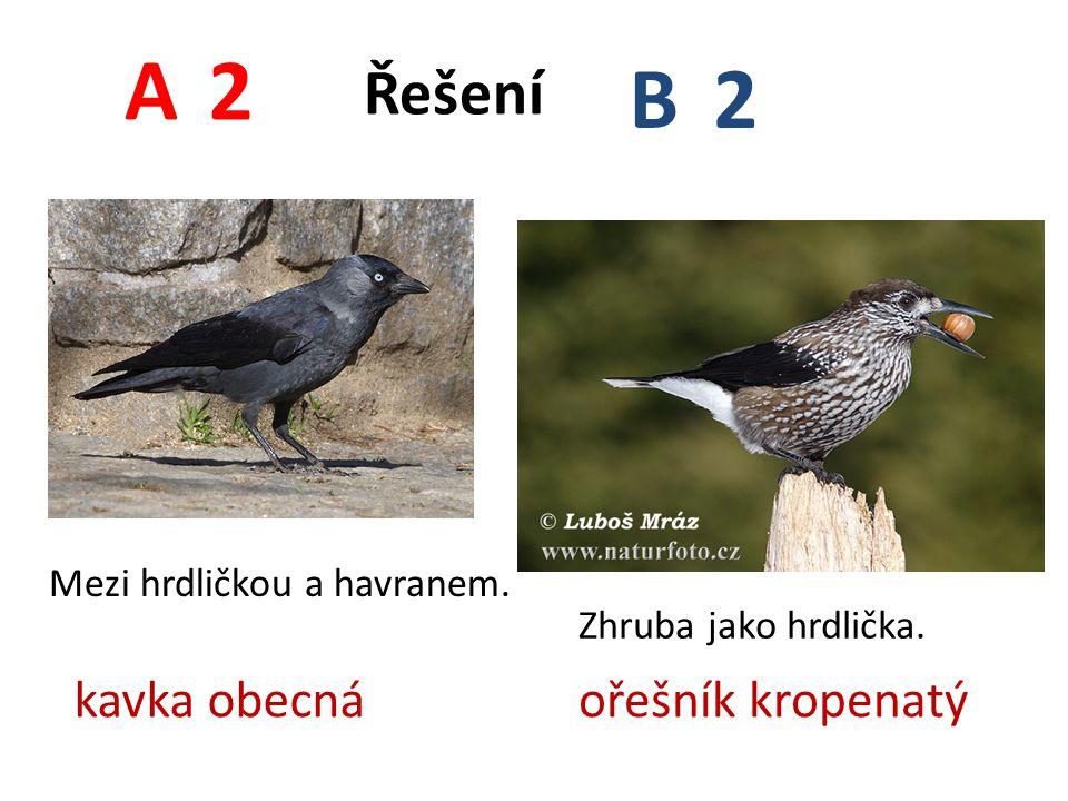 A B 2 Řešení kavka obecná ořešník kropenatý Mezi hrdličkou a havranem.