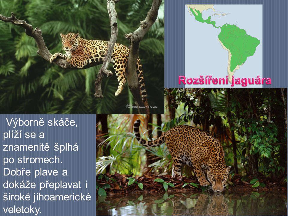 Rozšíření jaguára Výborně skáče, plíží se a znamenitě šplhá po stromech.