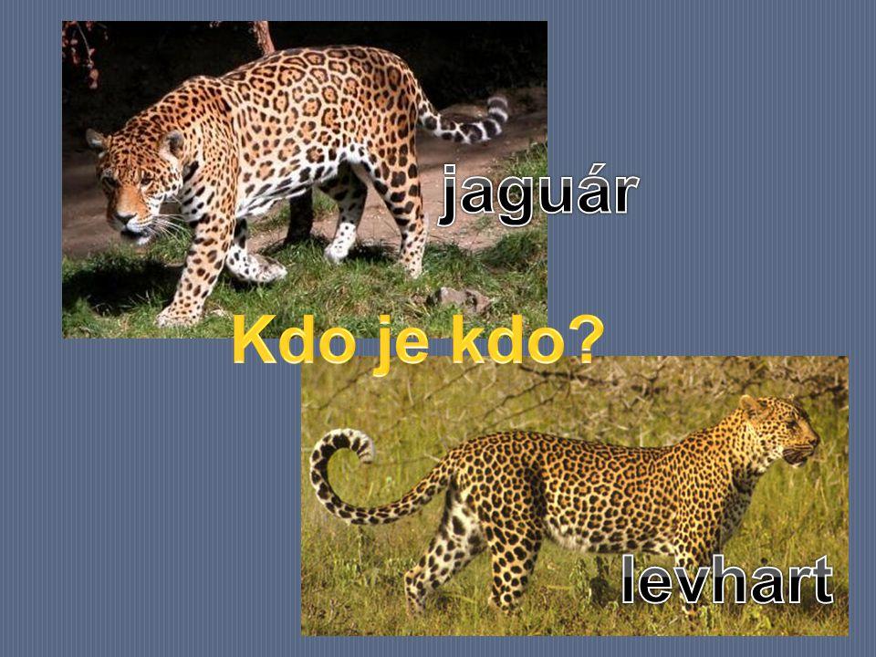 jaguár Kdo je kdo levhart