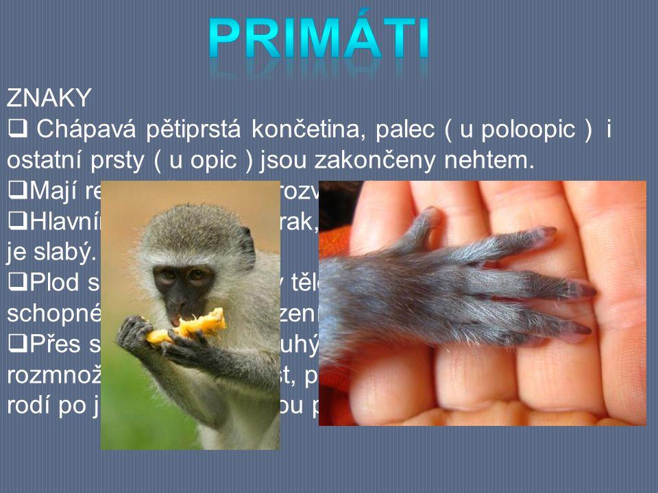 primáti ZNAKY. Chápavá pětiprstá končetina, palec ( u poloopic ) i ostatní prsty ( u opic ) jsou zakončeny nehtem.