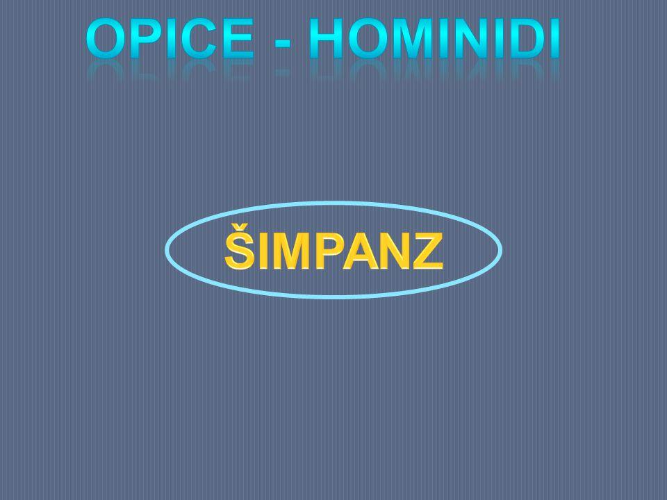 Opice - hominidi ŠIMPANZ