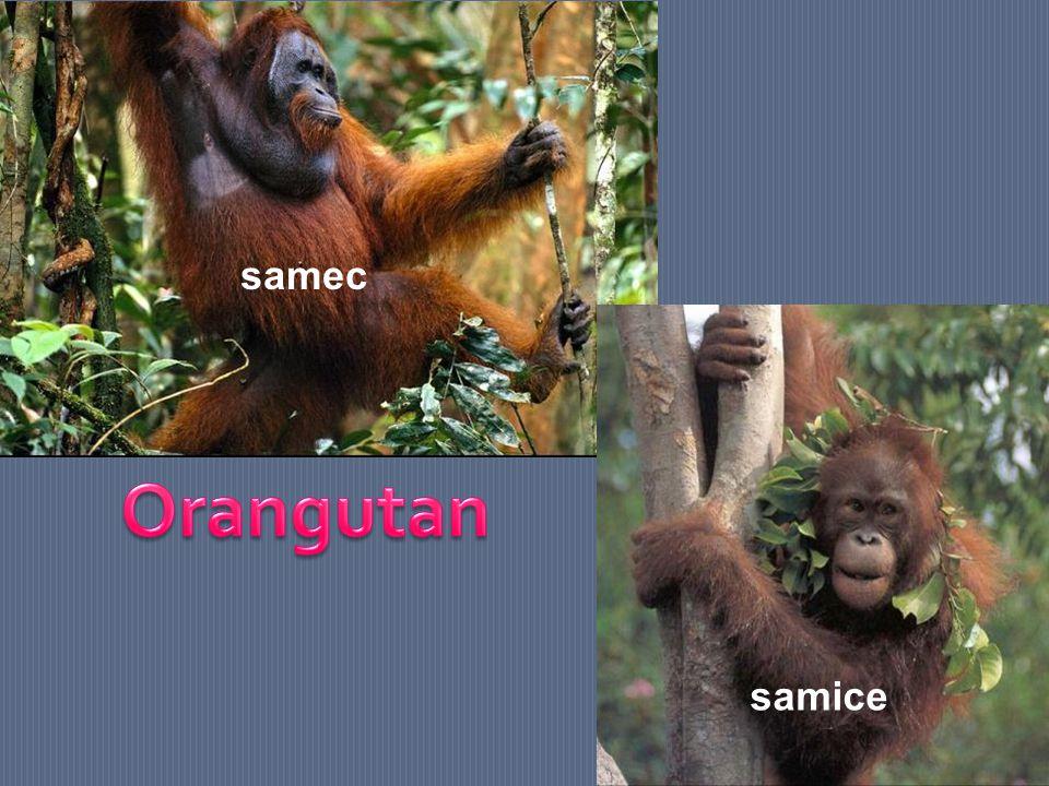 samec Orangutan samice