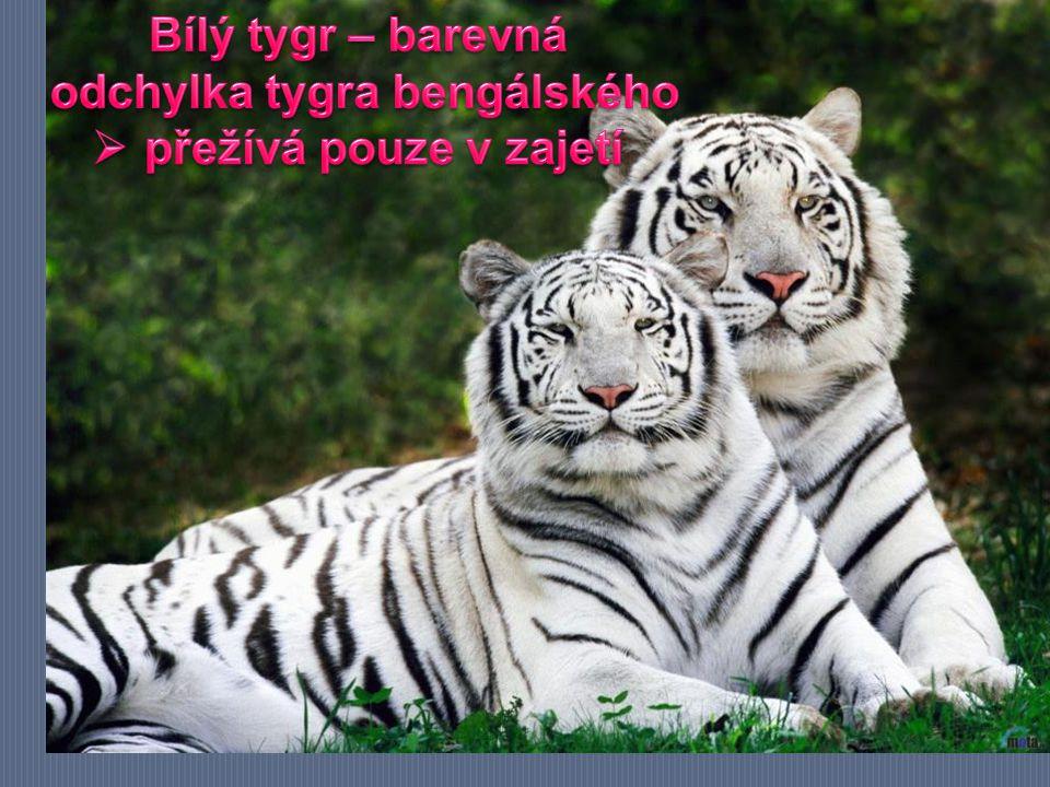odchylka tygra bengálského