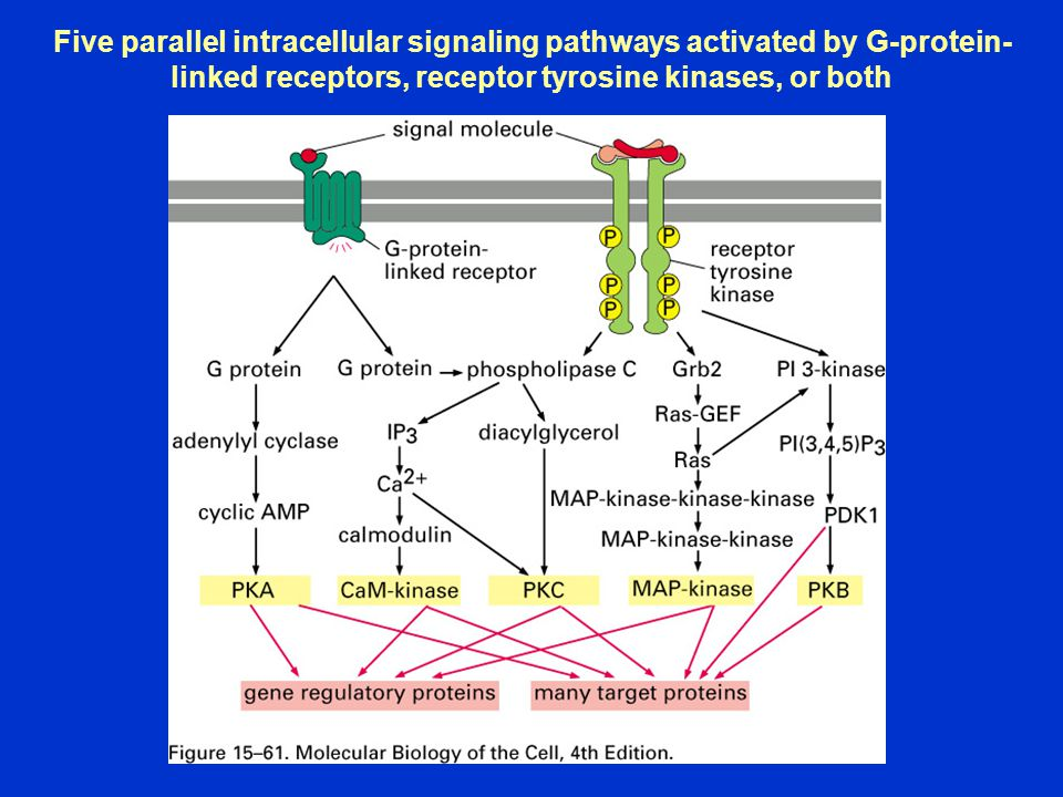 Five parallel intracellular signaling pathways activated by G-protein-linked receptors, receptor tyrosine kinases, or both