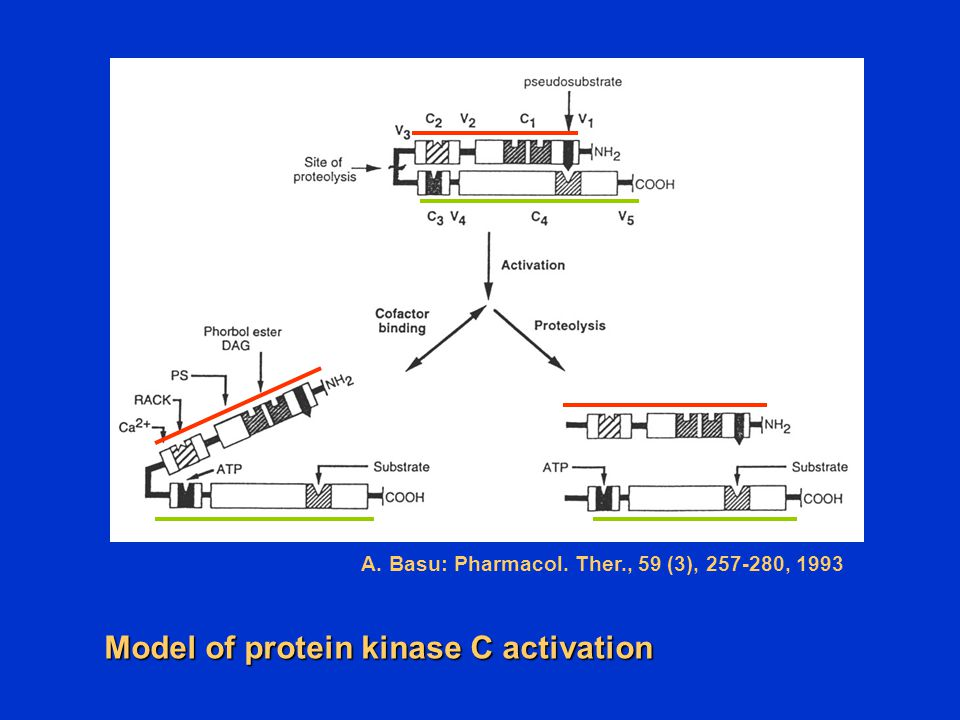 Model of protein kinase C activation
