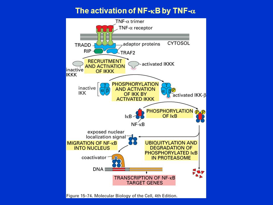 The activation of NF-kB by TNF-a