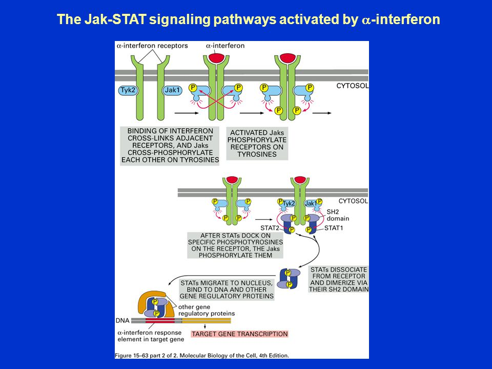 The Jak-STAT signaling pathways activated by a-interferon