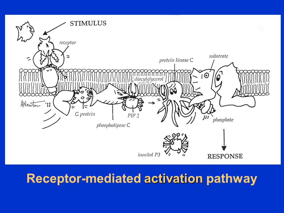 Receptor-mediated activation pathway