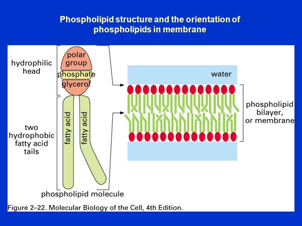 Phospholipid structure and the orientation of phospholipids in membrane