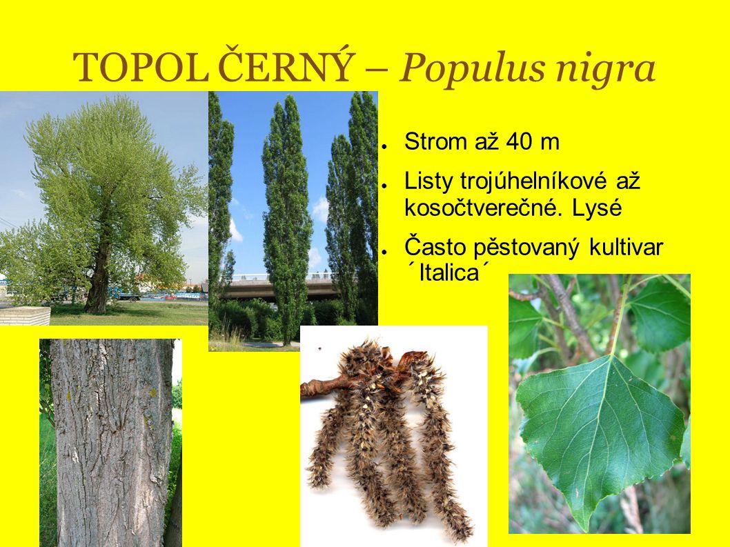 TOPOL ČERNÝ – Populus nigra