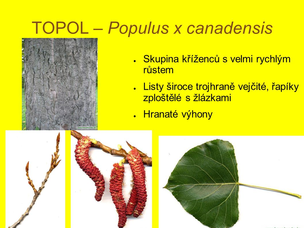 TOPOL – Populus x canadensis