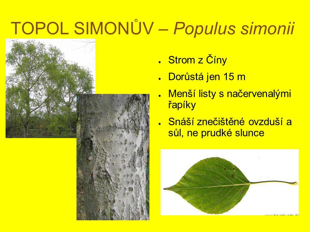 TOPOL SIMONŮV – Populus simonii