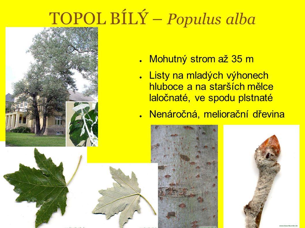 TOPOL BÍLÝ – Populus alba