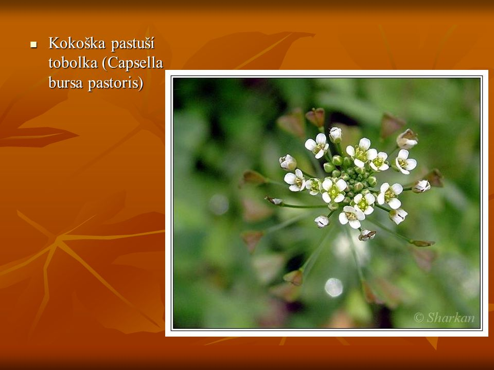 Kokoška pastuší tobolka (Capsella bursa pastoris)