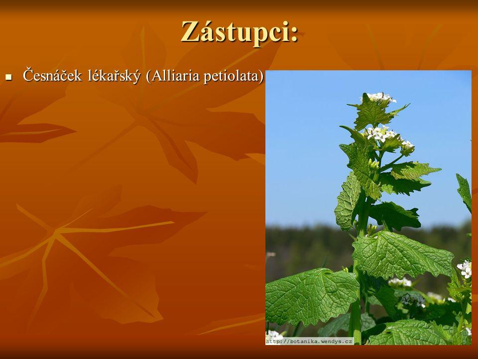 Zástupci: Česnáček lékařský (Alliaria petiolata)