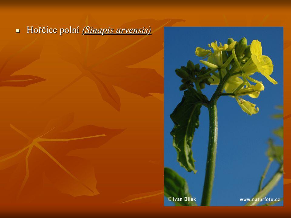 Hořčice polní (Sinapis arvensis)