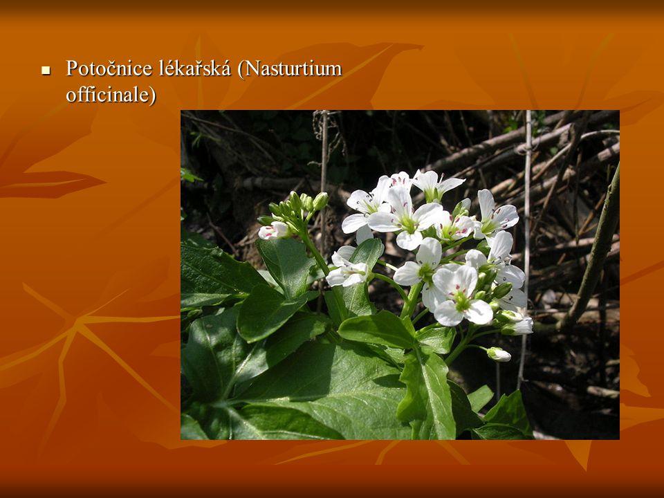 Potočnice lékařská (Nasturtium officinale)