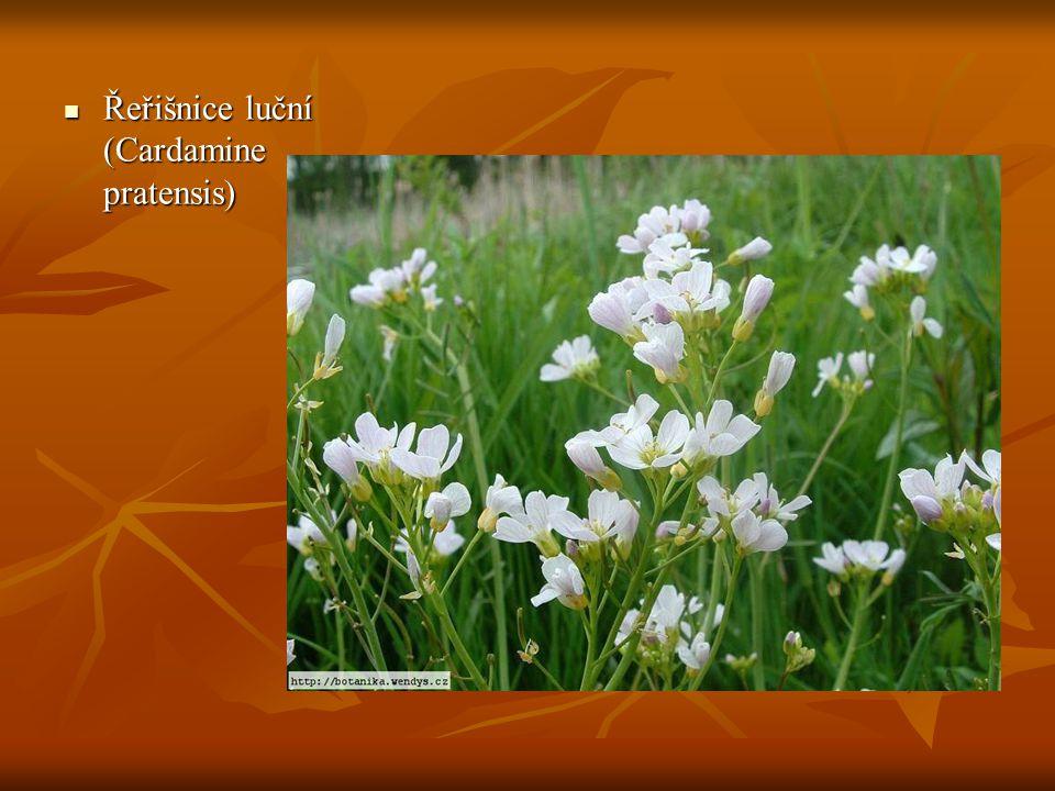 Řeřišnice luční (Cardamine pratensis)