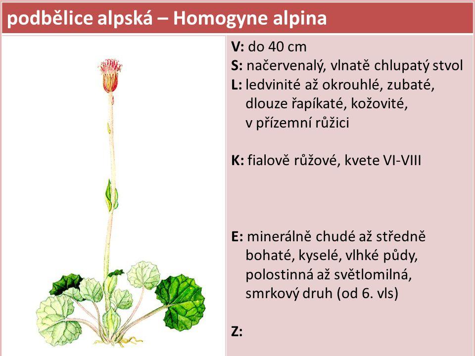 podbělice alpská – Homogyne alpina