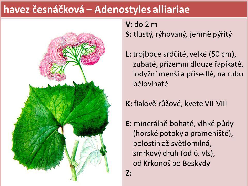 havez česnáčková – Adenostyles alliariae