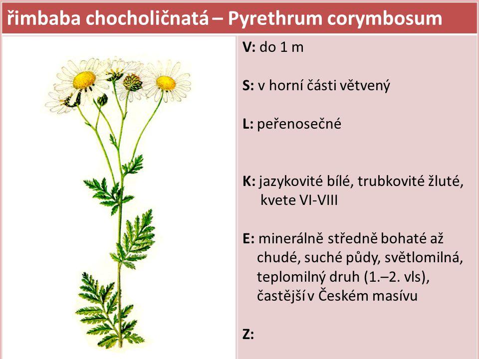 řimbaba chocholičnatá – Pyrethrum corymbosum