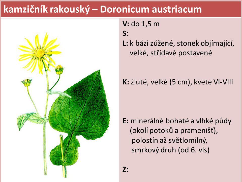 kamzičník rakouský – Doronicum austriacum