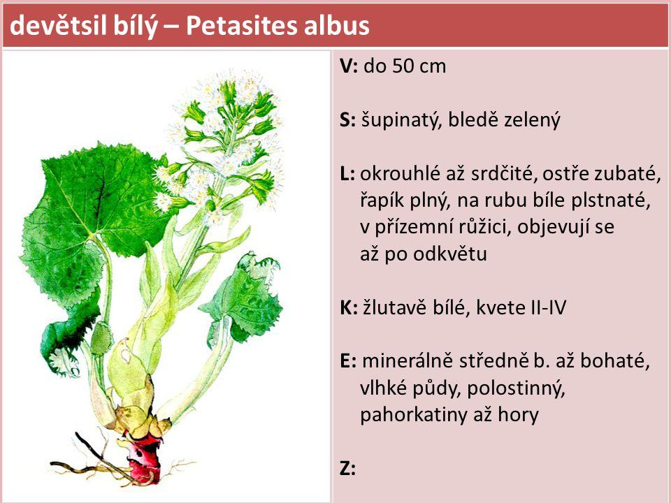 devětsil bílý – Petasites albus