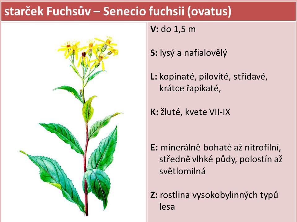 starček Fuchsův – Senecio fuchsii (ovatus)