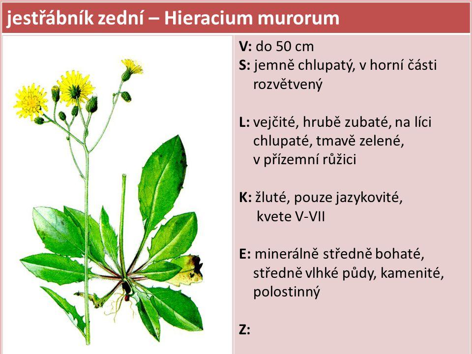 jestřábník zední – Hieracium murorum