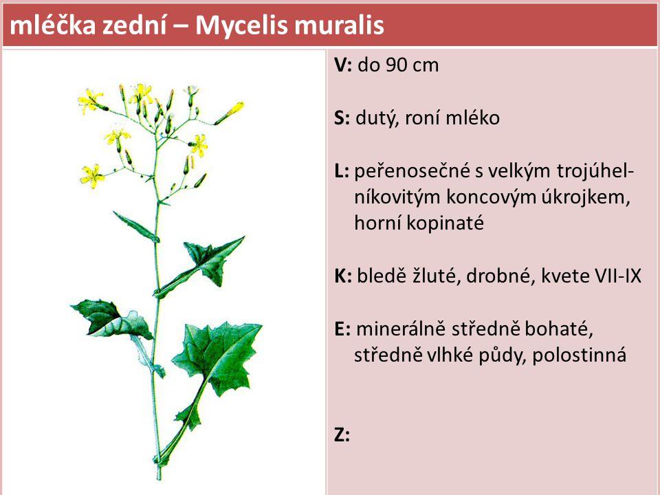 mléčka zední – Mycelis muralis