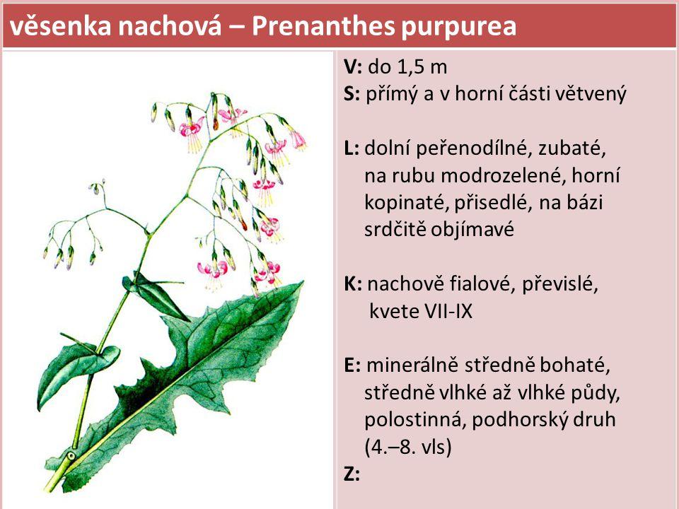 věsenka nachová – Prenanthes purpurea