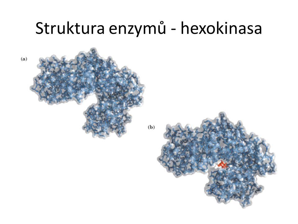 Struktura enzymů - hexokinasa