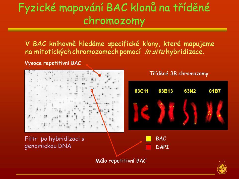 Fyzické mapování BAC klonů na tříděné chromozomy