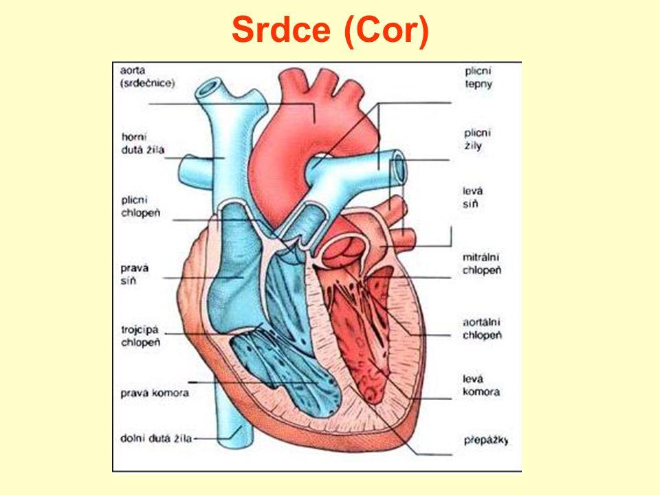 Srdce (Cor)