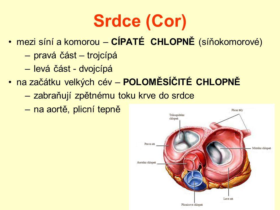Srdce (Cor) mezi síní a komorou – CÍPATÉ CHLOPNĚ (síňokomorové)