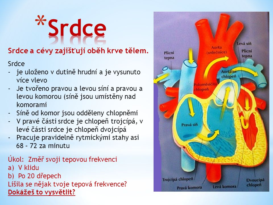 Srdce Srdce a cévy zajišťují oběh krve tělem. Srdce