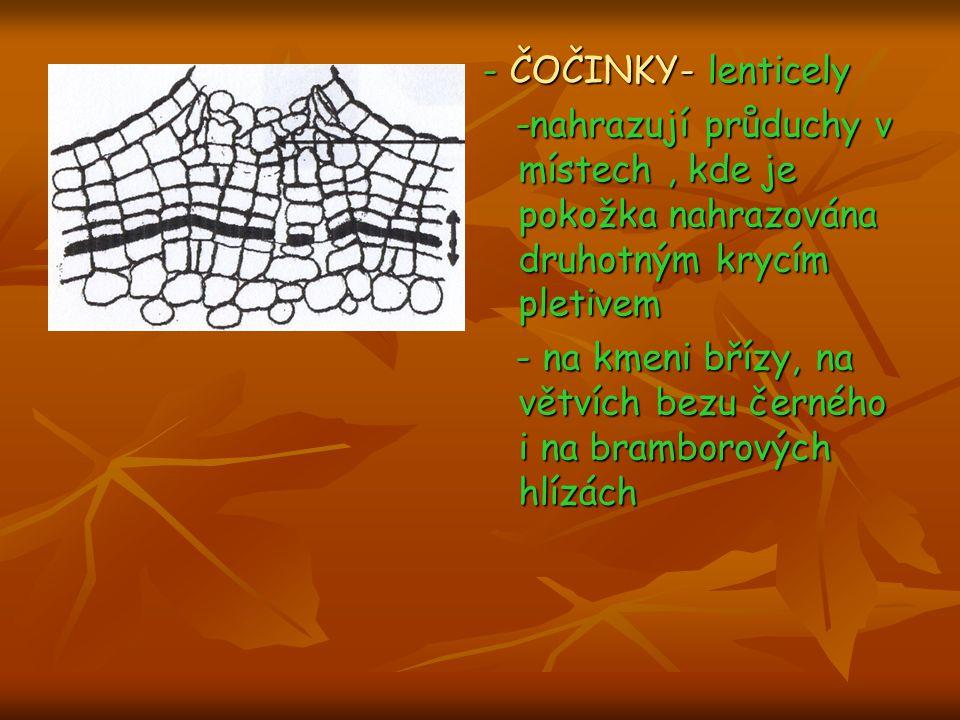 - ČOČINKY- lenticely -nahrazují průduchy v místech , kde je pokožka nahrazována druhotným krycím pletivem.