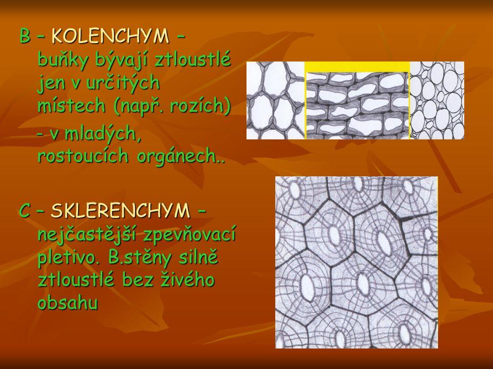 B – KOLENCHYM – buňky bývají ztloustlé jen v určitých místech (např