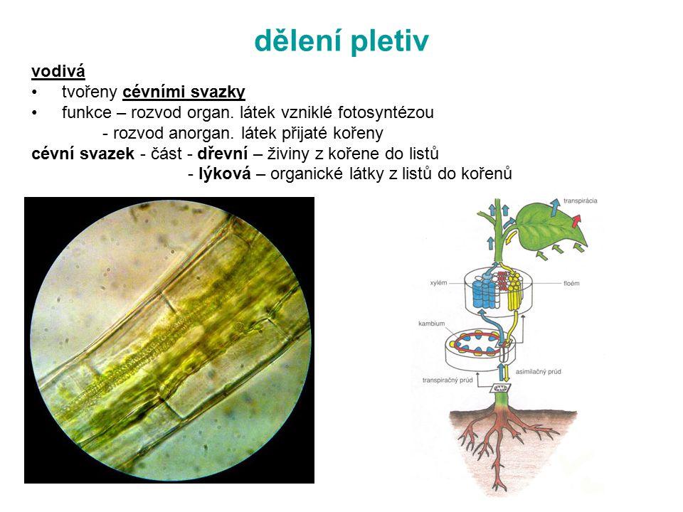 dělení pletiv vodivá tvořeny cévními svazky