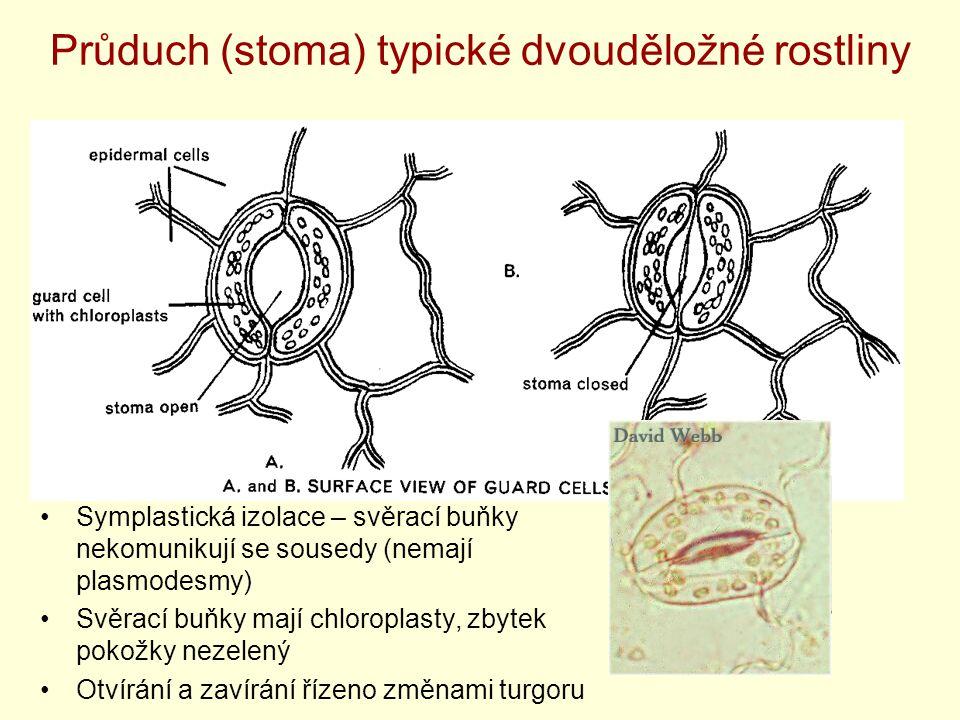 Průduch (stoma) typické dvouděložné rostliny